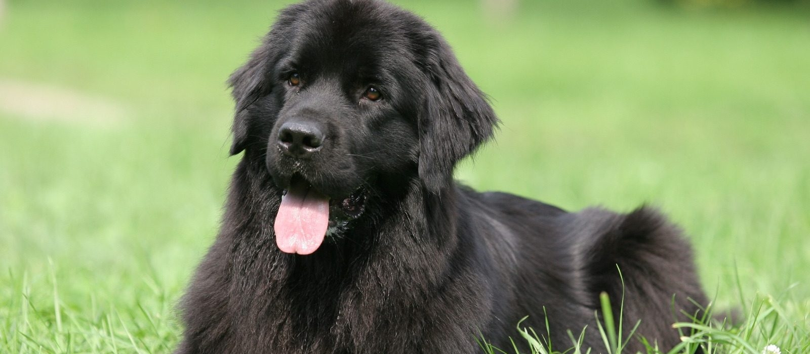 Newfoundland Puppies For Sale Newfie Puppies Greenfield Puppies