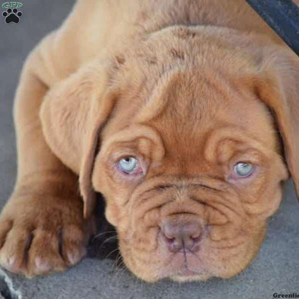 Dogue De Bordeaux French Mastiff Puppy