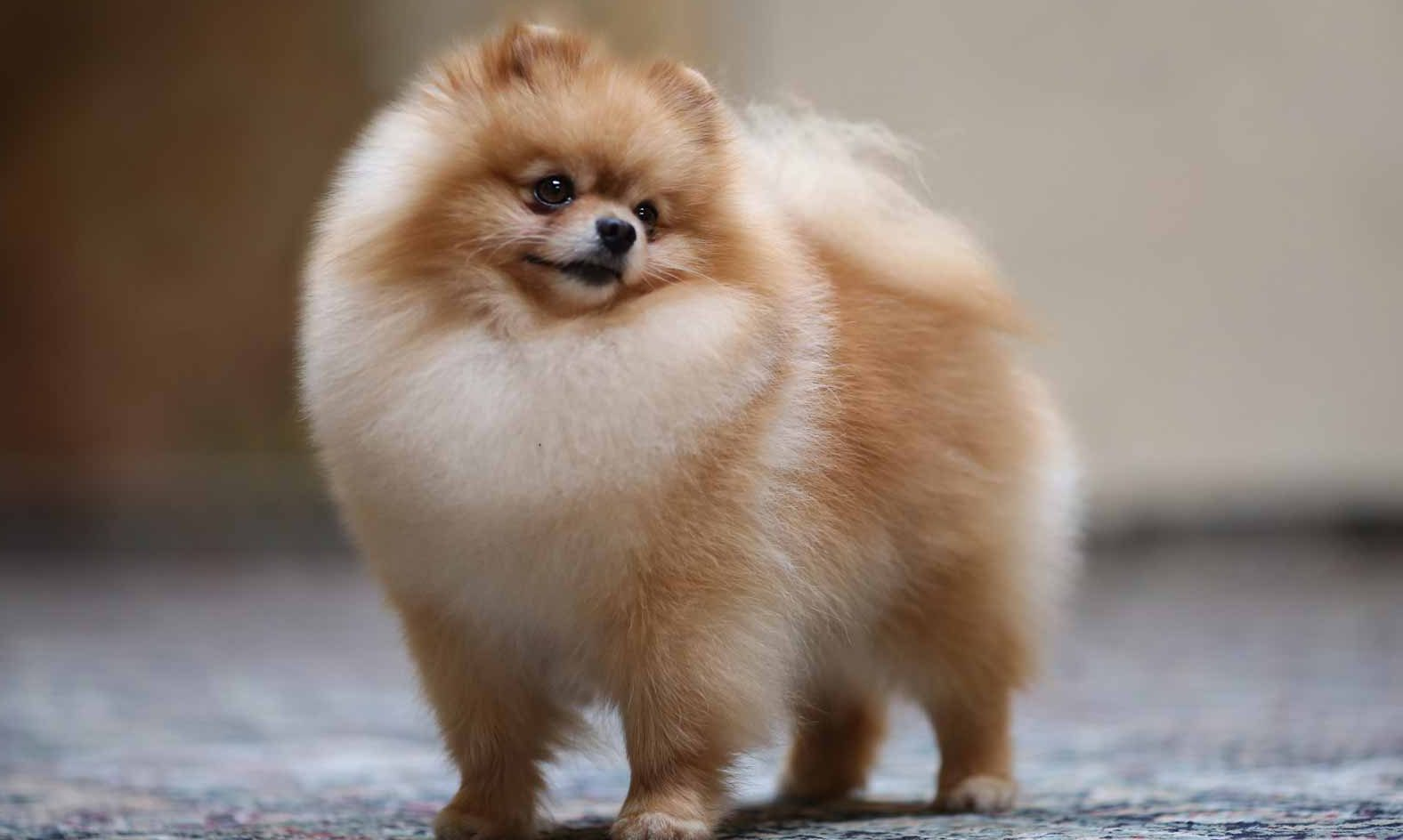 how much are pomeranians