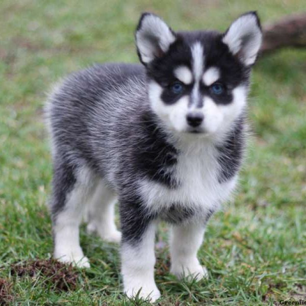 Favorit Pomsky Puppies For Sale | Pomsky Breed Profile | Greenfield Puppies EH66