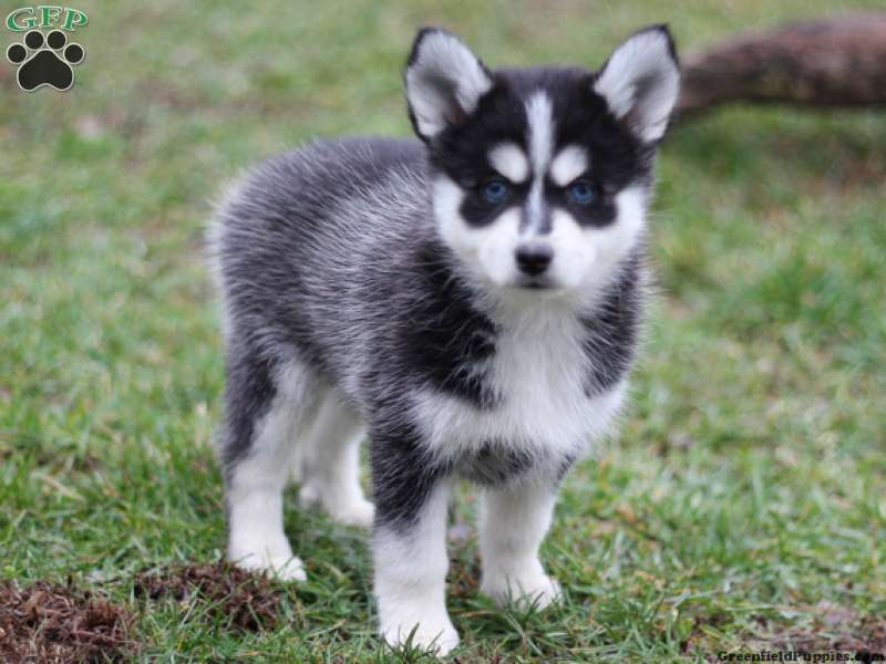 Pomsky Puppies For Sale From Reputable Breeders