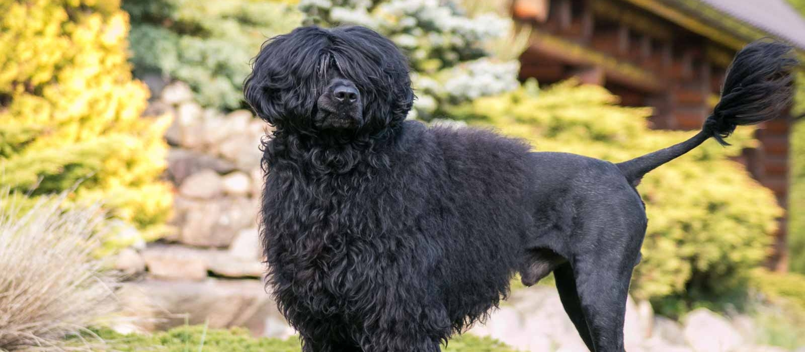 Portuguese Water Dog Puppies For