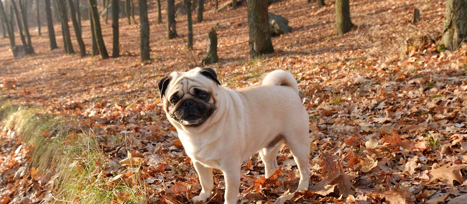 Pug Puppies For Sale - Pug Dog Breed Profile | Greenfield