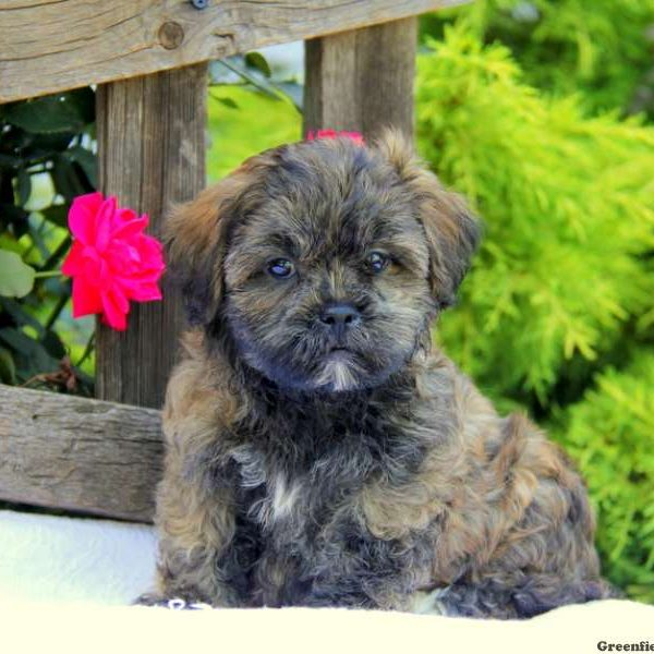 Teddy Bear Puppies for Sale - Shichon Puppies | Greenfield Puppies