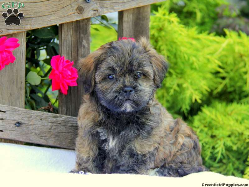 Teddy Bear Puppies for Sale - Shichon Puppies | Greenfield
