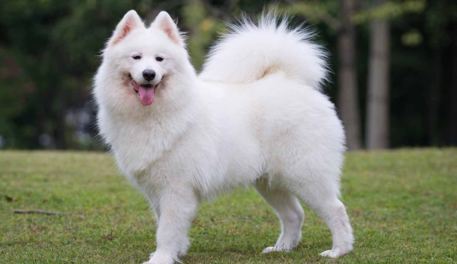 Samoyed Puppies For Sale Samoyed Breed Profile Greenfield Puppies