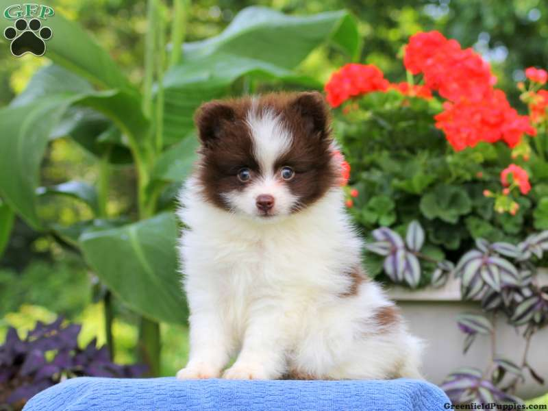 Pomeranian Puppies For Sale - Pom Puppies | Greenfield Puppies