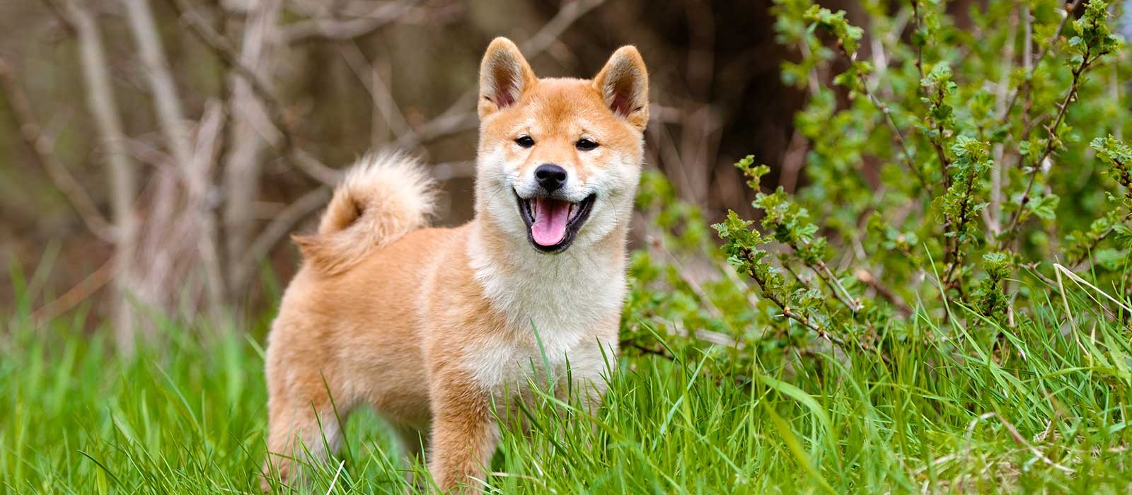 Shiba Inu Puppies For Sale - Shiba Inu Breed Profile | Greenfield