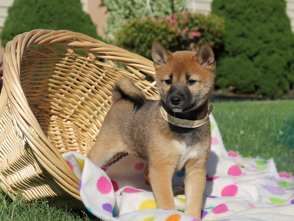 shiba inu puppies adoption