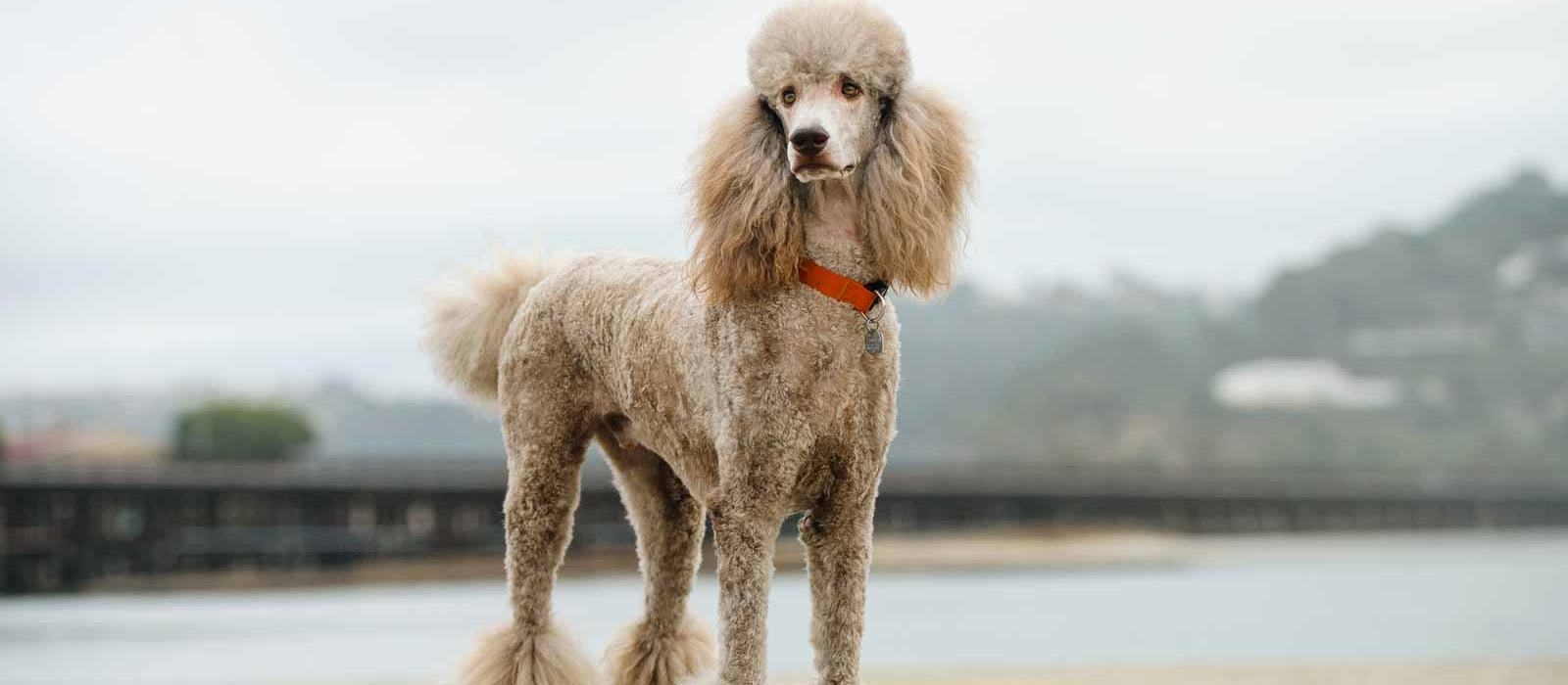 Standard Poodle Puppies For Sale Greenfield Puppies