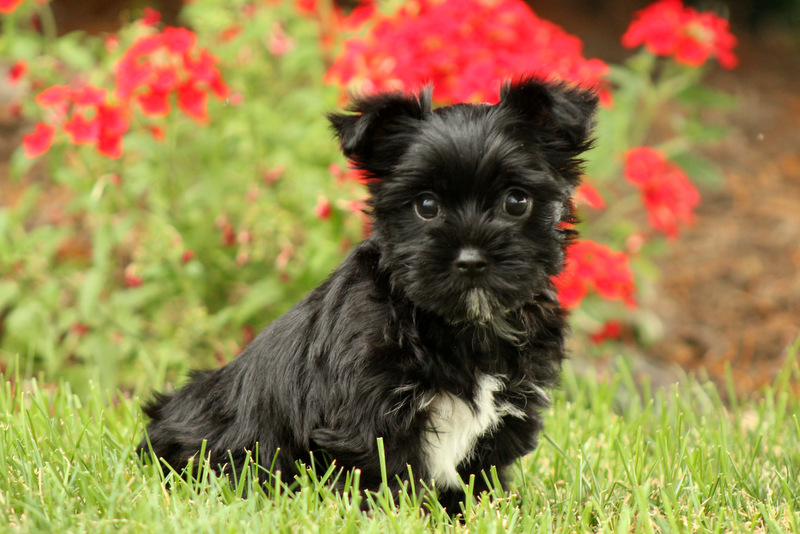 Yorkie-Chon Puppies For Sale | Greenfield Puppies