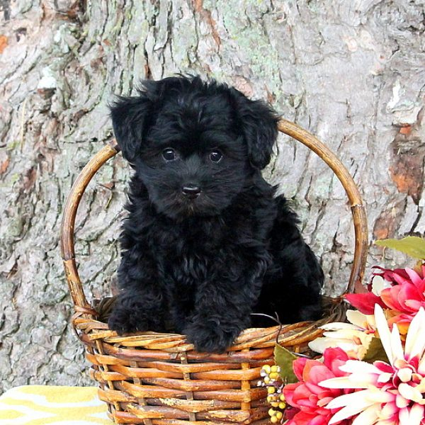 Yorkie Poo Puppies For