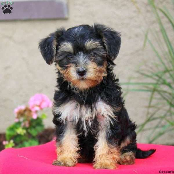 Yorkie Mix Puppy