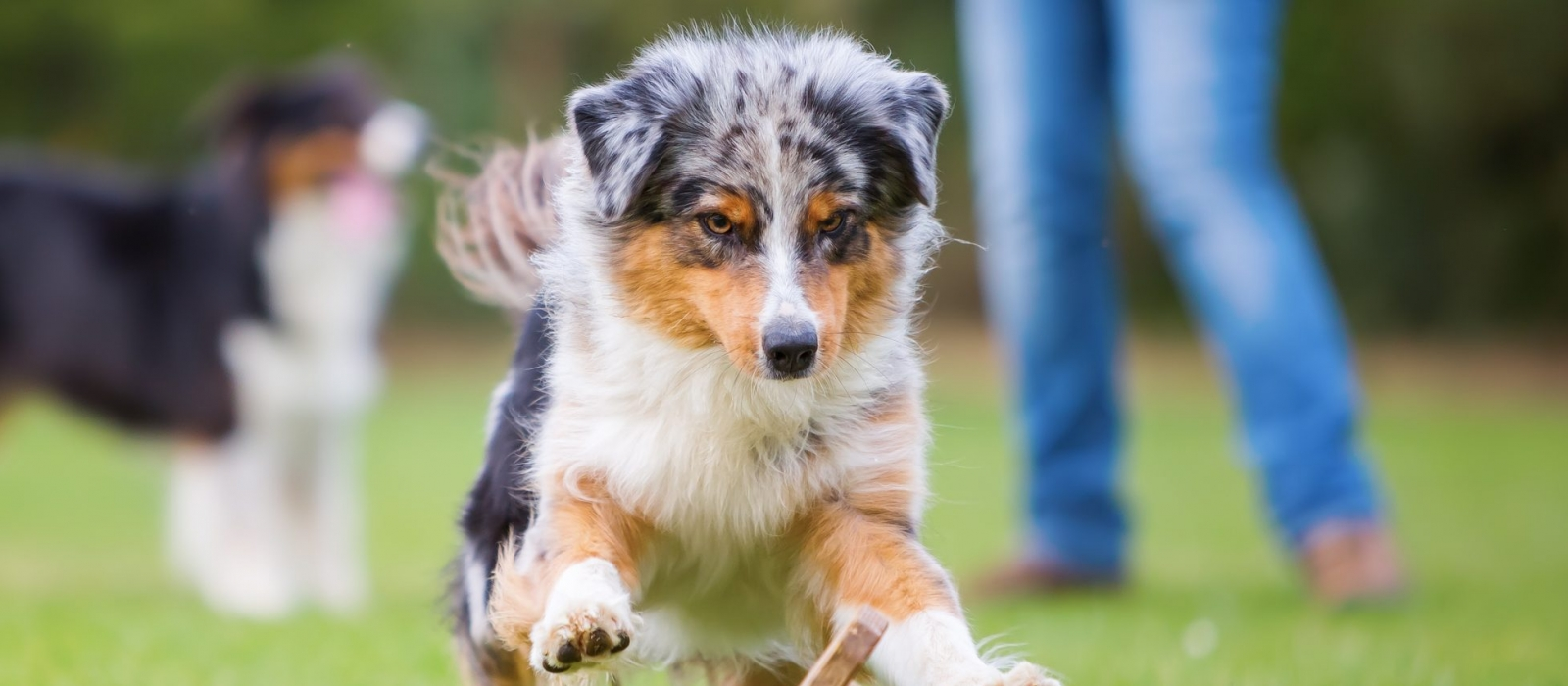 Toy Australian Shepherd Puppies For Sale Greenfield Puppies