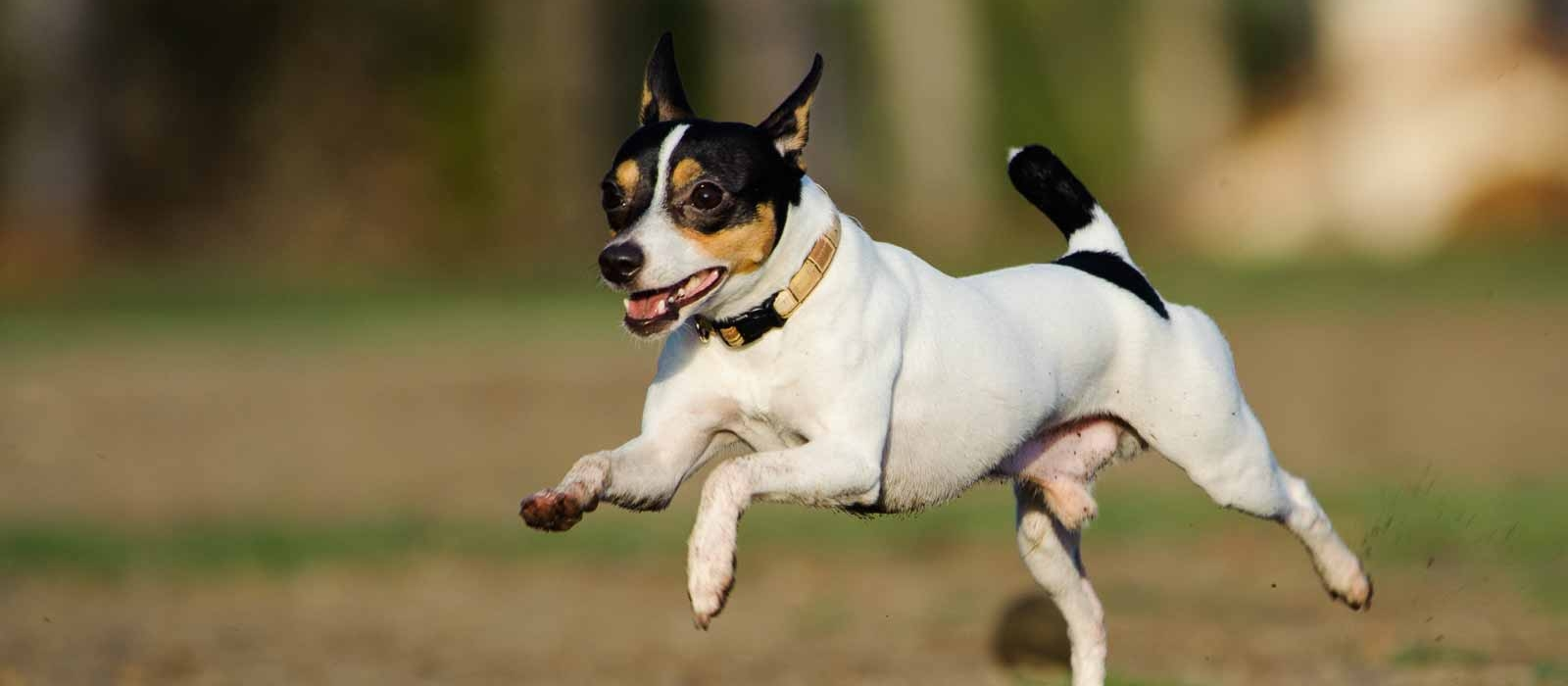 Toy Fox Terrier Puppies For Sale Greenfield Puppies