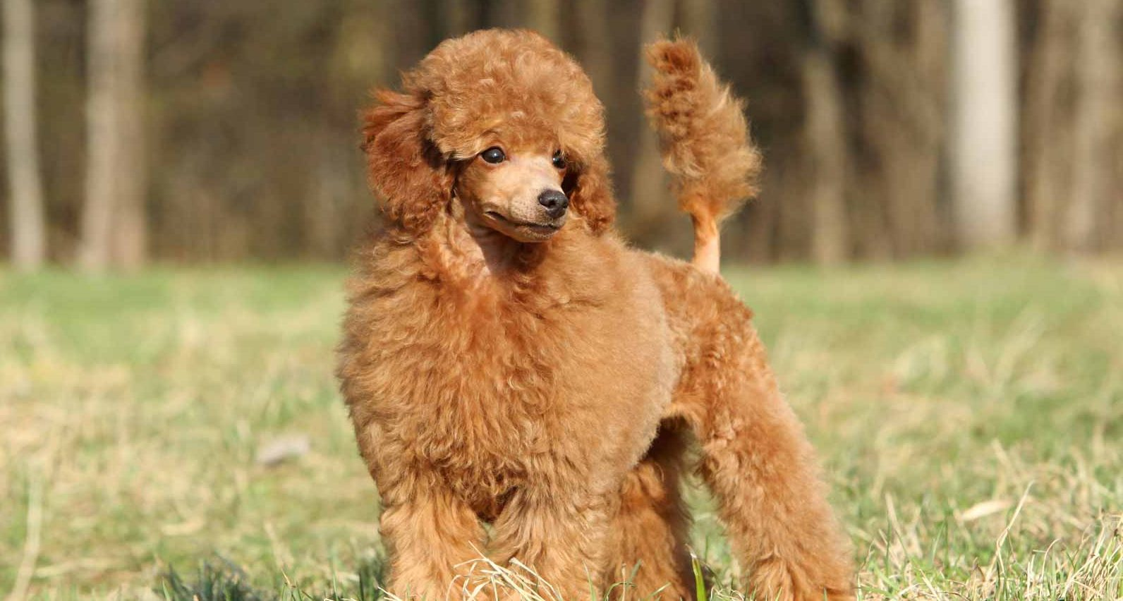 Toy Poodle Puppies For Sale - Toy Poodles | Greenfield