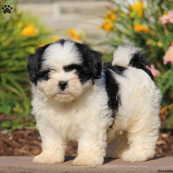 shih tzu puppis shih tzu puppies for sale shih tzu dog breed info 204