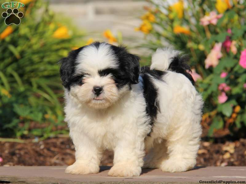 shih tzu breeders in md shih tzu puppies for sale in de md ny nj philly dc and 6001
