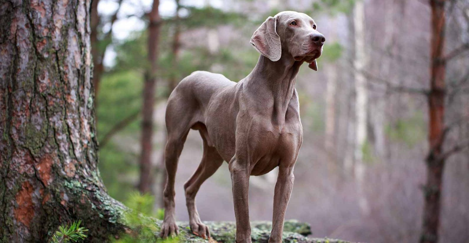 Weimaraner Puppies For