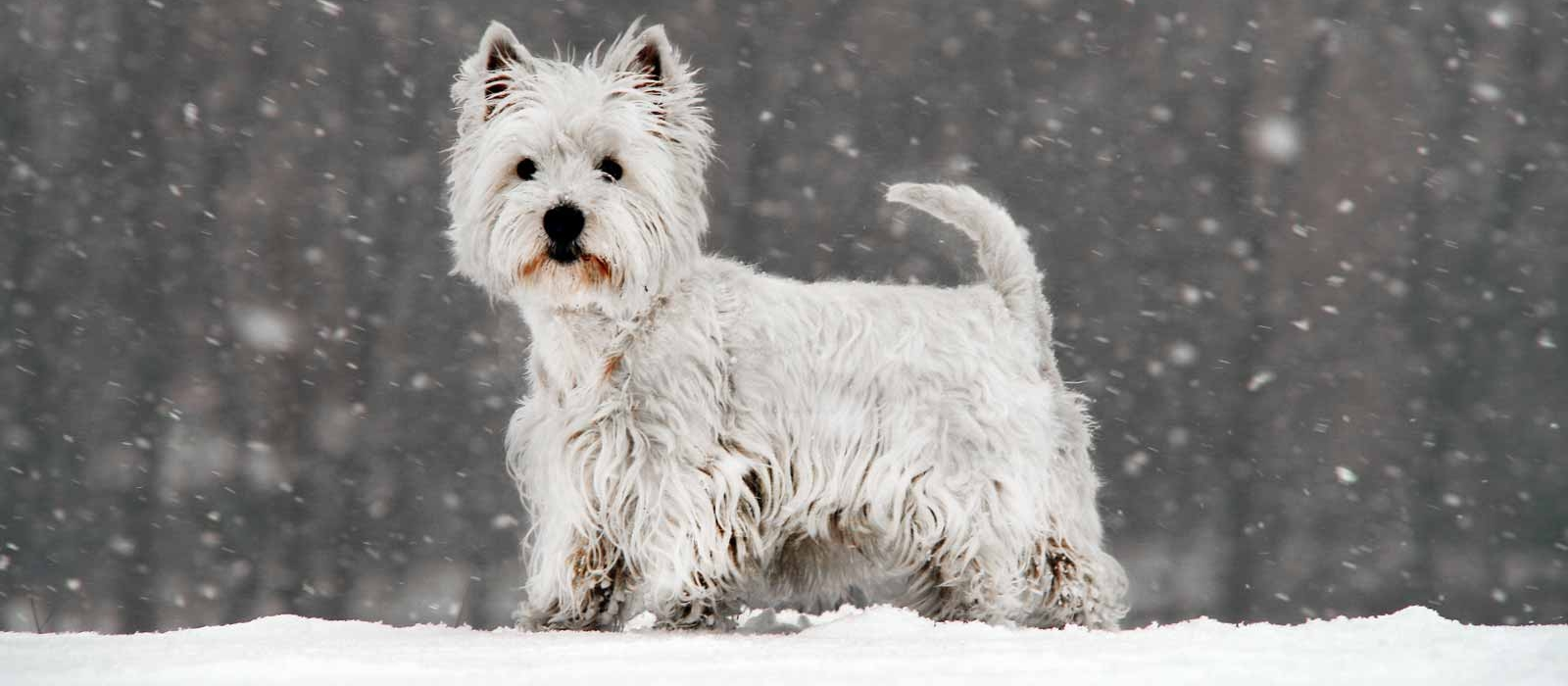 west highland terrier puppies for sale greenfield puppies