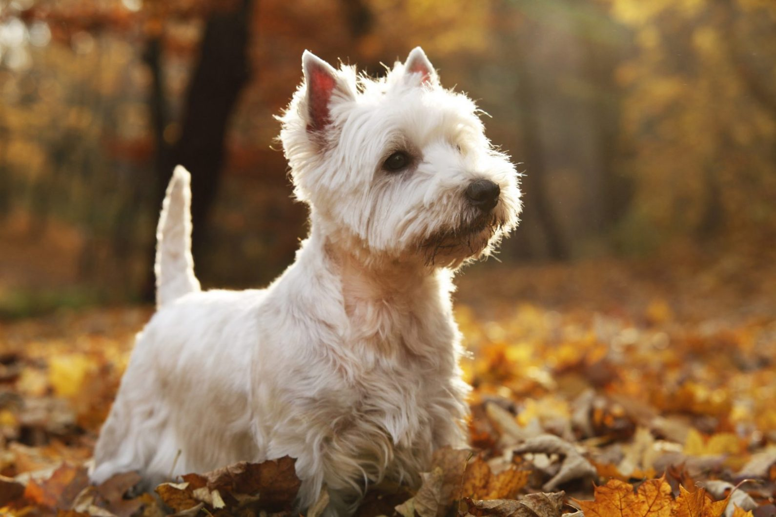 West Highland Terrier Puppies For Sale | Greenfield Puppies