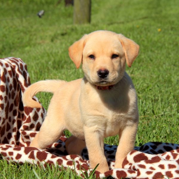 Labrador Retriever – Yellow Puppy