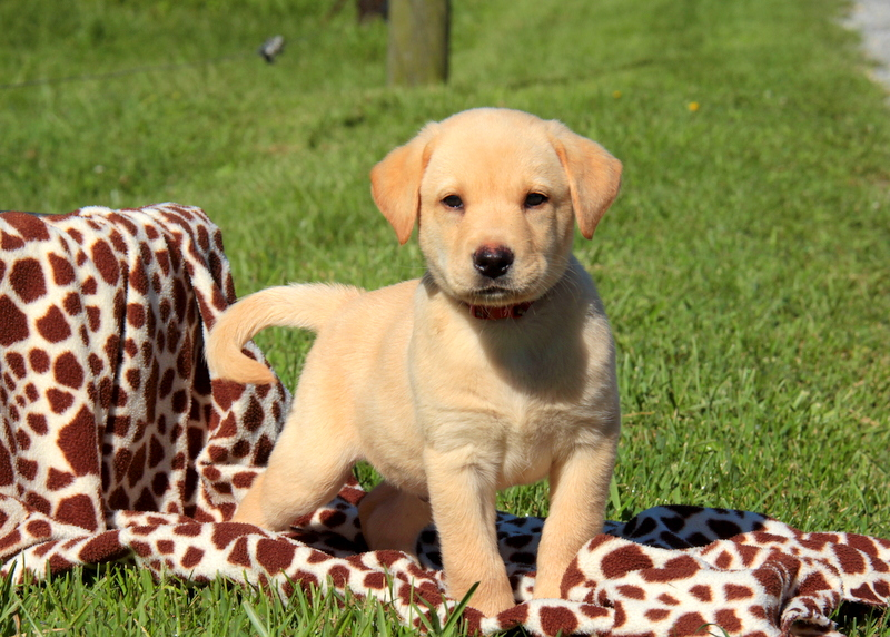 Yellow Labrador Retriever Puppies For Sale Greenfield Puppies