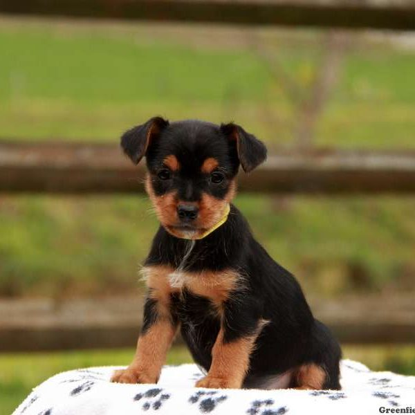 Yorkie Russell Puppy