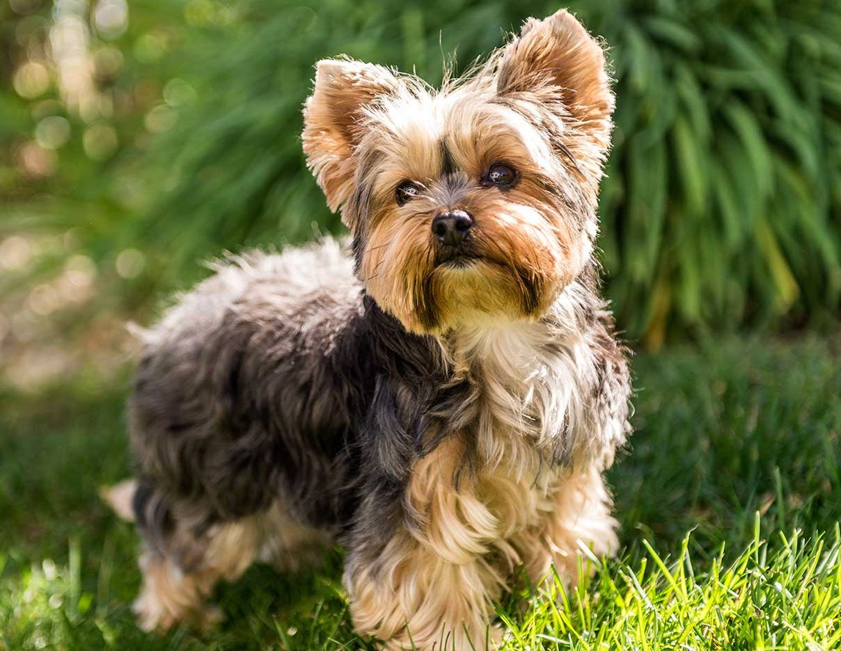 Yorkshire Terrier Puppies For Sale Greenfield Puppies