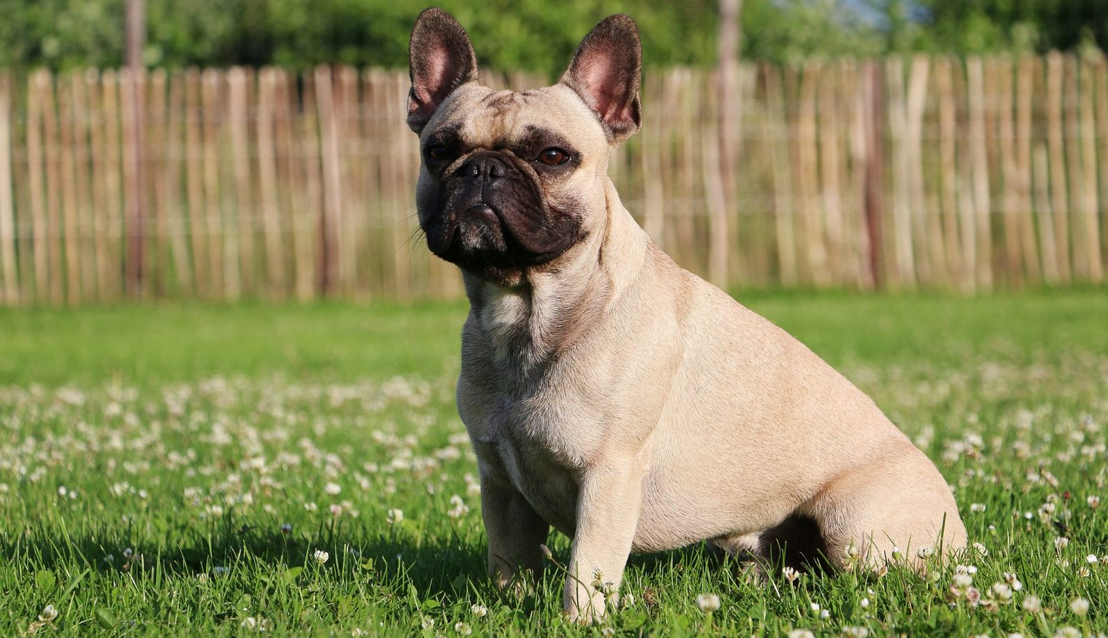 French Bulldog Puppies For Sale - Frenchie Puppies