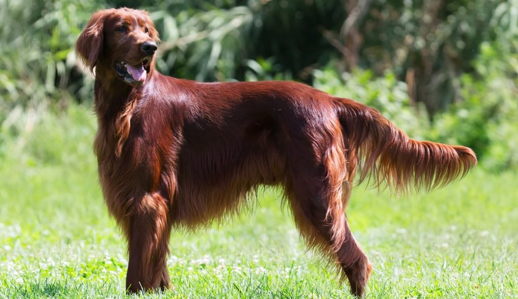 Irish Setter Puppies For Sale - Irish Setter Dog Breed