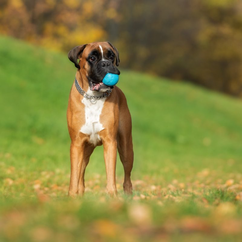 boxer dog in a field holding a blue ball