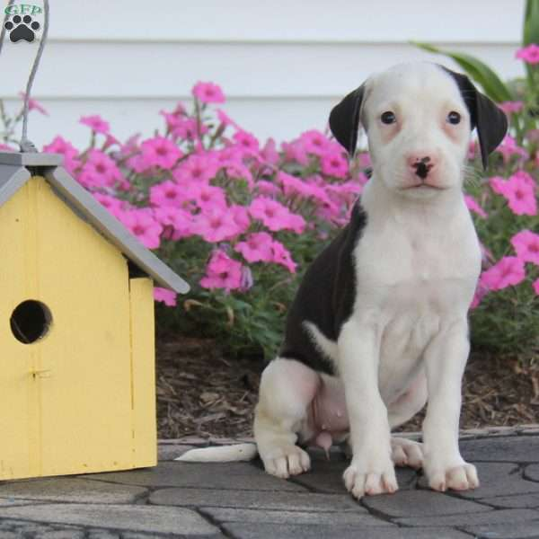 Bailey, American Bulldog Mix Puppy
