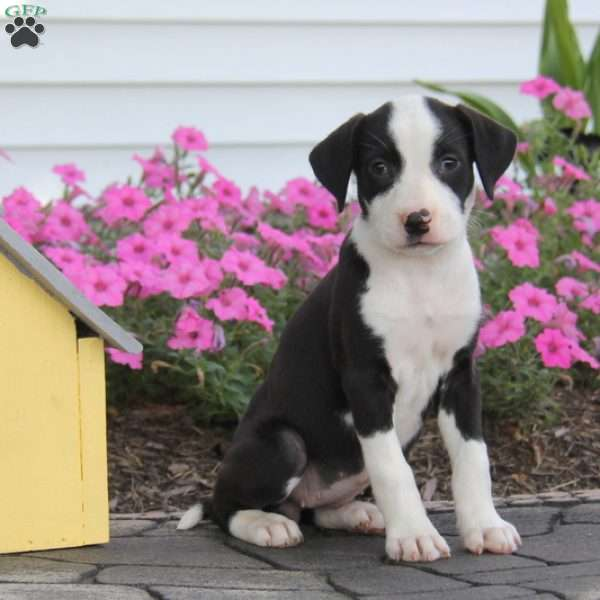 Barbie, American Bulldog Mix Puppy