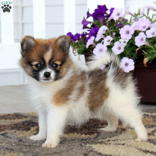 pomeranian breeders in pa beauty pomeranian puppy for sale in pennsylvania 9096