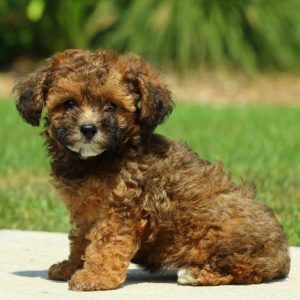 Poodle puppies for sale in maryland