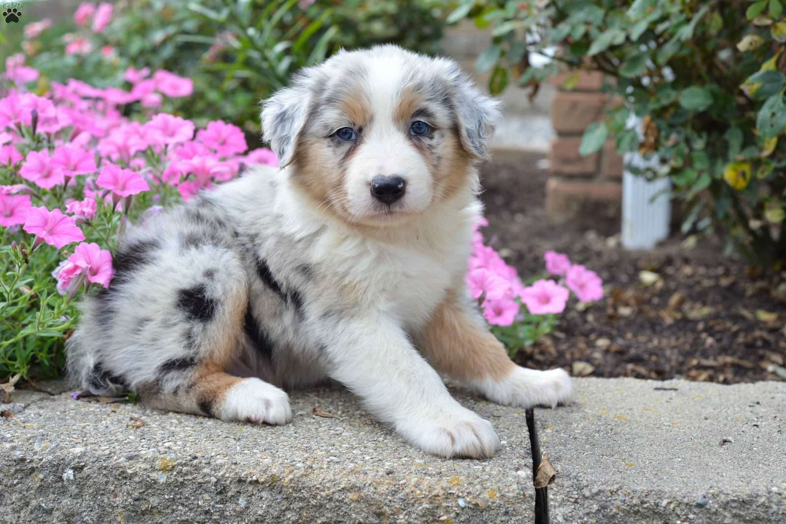 Wolf hybrid puppies for sale in ohio - Connor Australian Shepherd Mix Puppy For Sale In Ohio