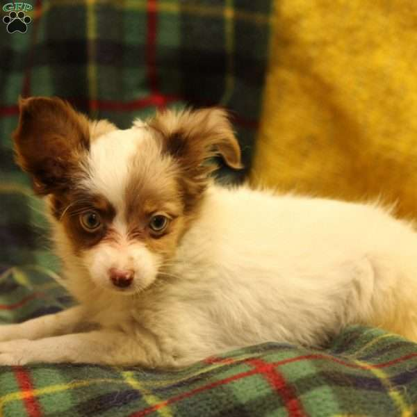Dandy, Australian Shepherd-Toy Puppy