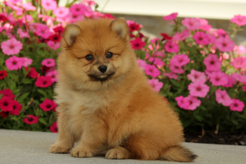 pomeranian breeders in pa jax pomeranian puppy for sale in pennsylvania 8281