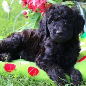 Irish Doodle Puppies For Sale In DE MD NY NJ Philly DC and ...