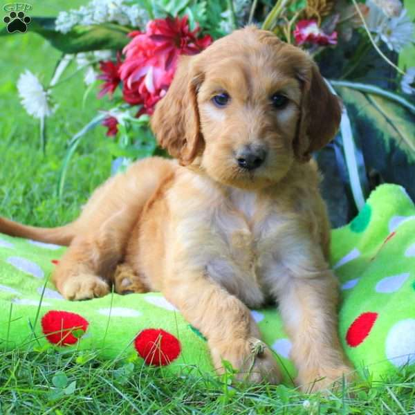 Mini - Irish Doodle Puppy For Sale in Pennsylvania