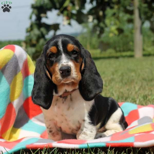 Pickles, Basset Hound Puppy