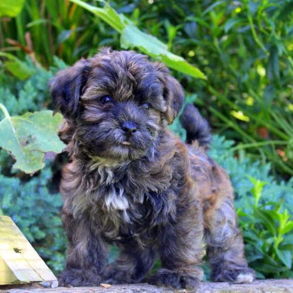 Shorkie Poo Puppies For Sale Greenfield Puppies