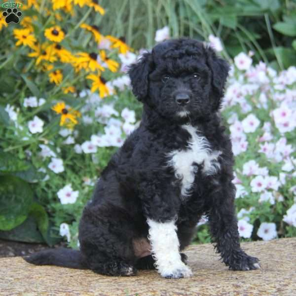Standard Poodle Mix Puppy