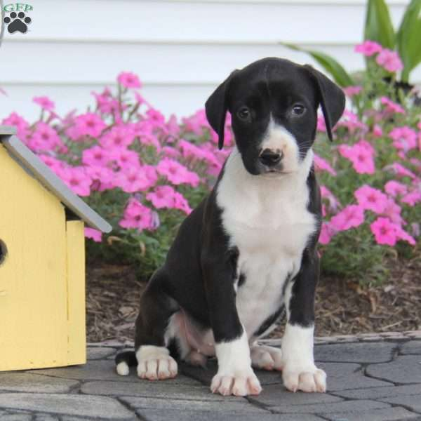 Beauty, American Bulldog Mix Puppy