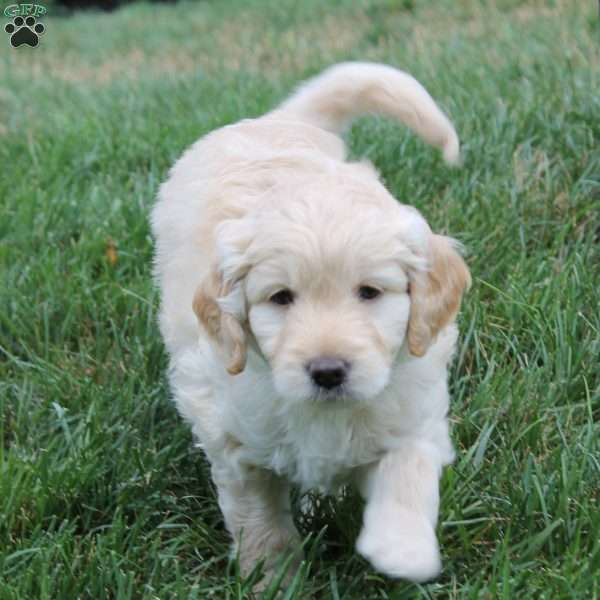Double Doodle Puppies For Sale Greenfield Puppies