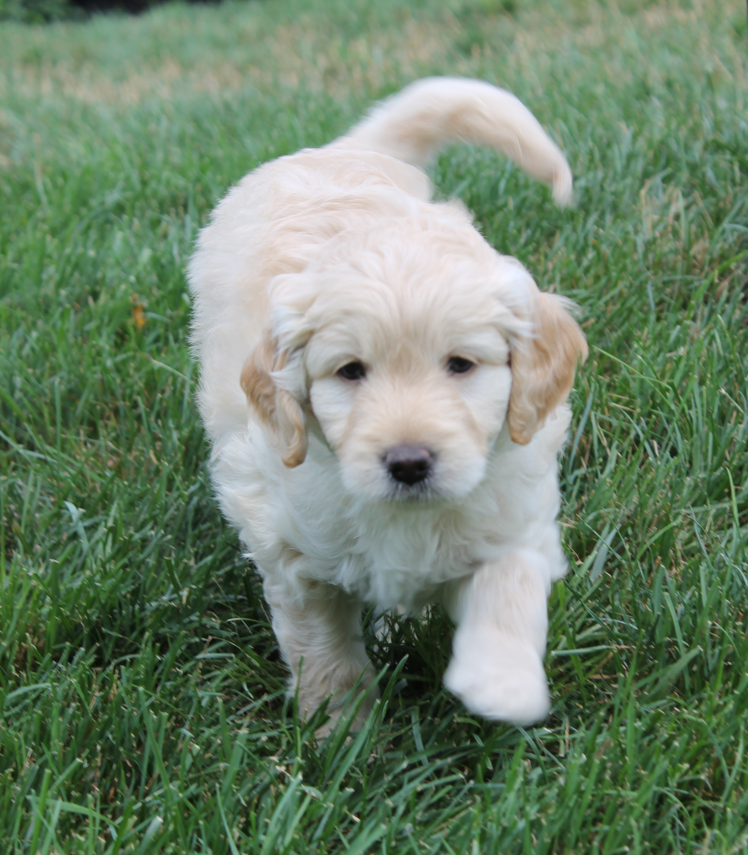 Double Doodle Puppies for Sale - Double Doodle Puppies