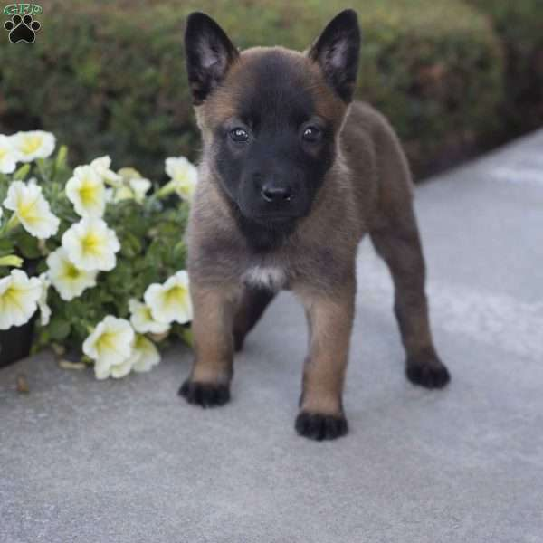 Allie, Belgian Malinois Puppy