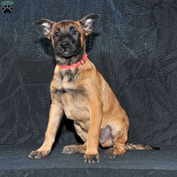 Andre, Belgian Malinois Puppy
