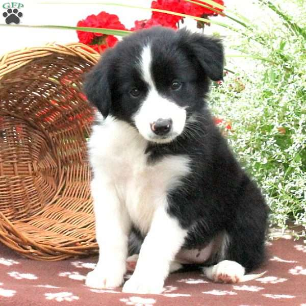 Barbie, Border Collie Mix Puppy